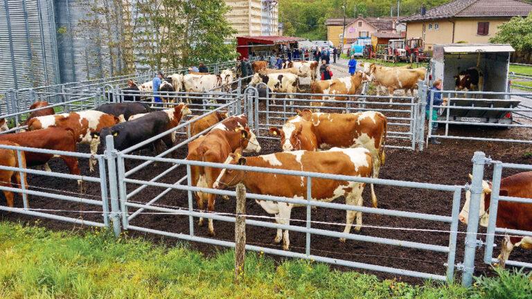Marché de bestiaux : Jusqu'à  3000 têtes de bétail par année!