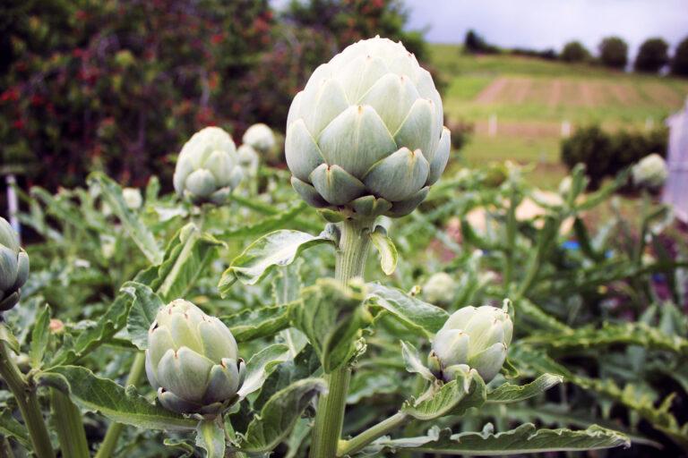 Botanique Nature : L'artichaut, ce légume au coeur tendre maintenant local!